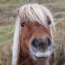 Eshaness Shetland Ponies