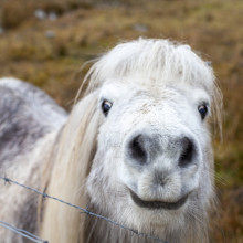 shetland pony eshaness arisaig